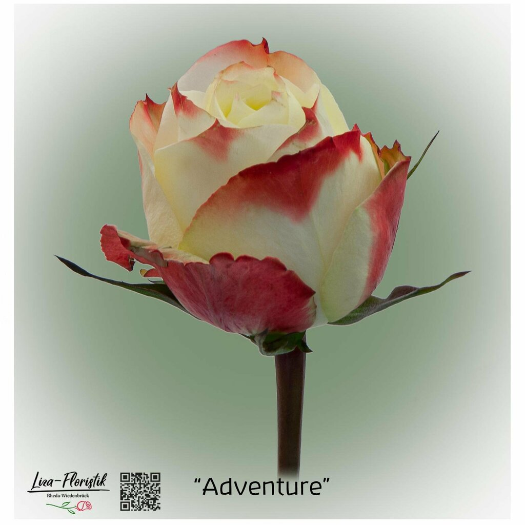 "Ecuador Rose ""Adventure"""